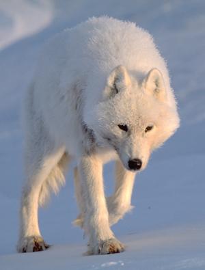 arctic_wolf_351633.jpg